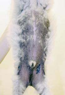 Симптомы поражения кожи, встречаемые у собак при этой патологии, не следует слепо списывать на лжедиагноз «гипотиреоз»