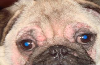 Алопеция, экскориации и пиодермия на голове собаки